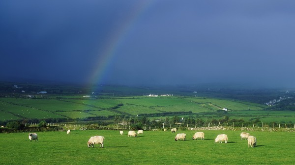 sheep-ireland_00413062